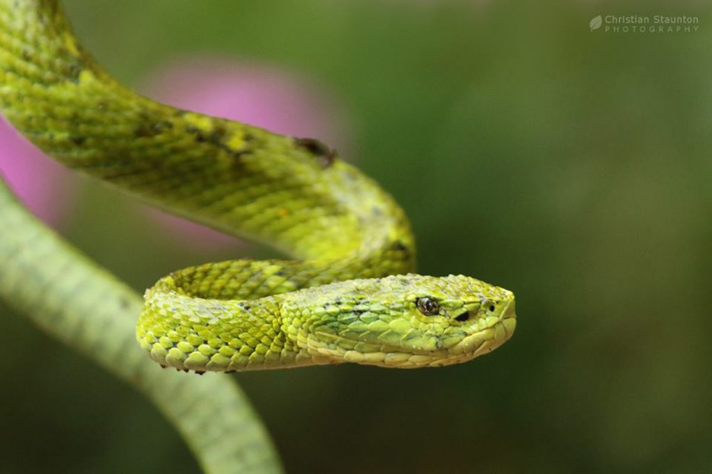 A Palm Pit Viper, one of the few poisonous snakes at Cloudbridge.