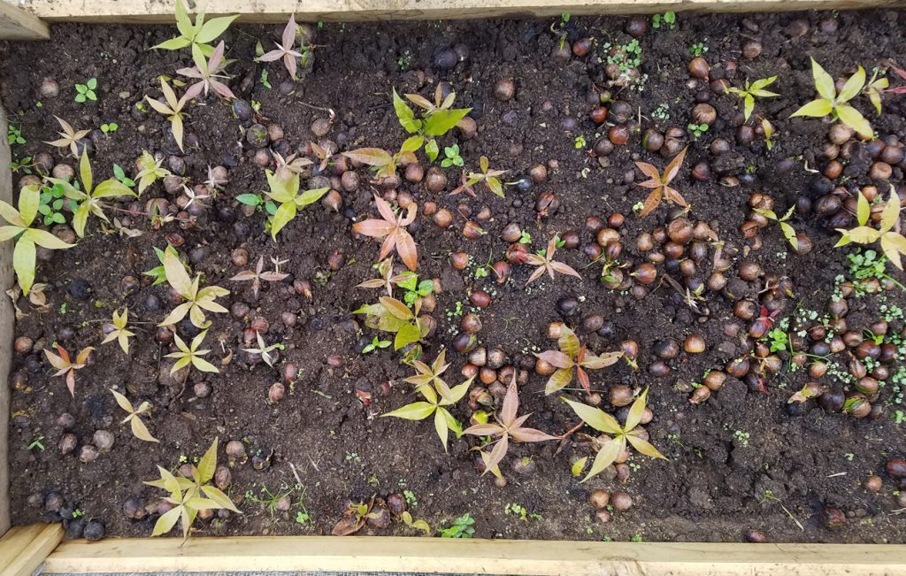 Native Tree Seedlings Germinated in Propagator