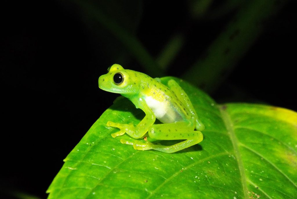 An Emerald Glassfrog (Espadarana prosoblepon) found during night survey.