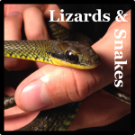 Lizards & Snakes Species List Costa Rica