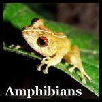 Chiriqui Robber Frog (Pristimantis cruentus)