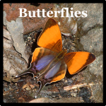 Butterfly Species List Costa Rica