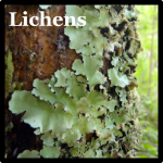 Lichens Speices List Costa Rica